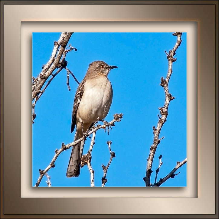 Desert Mockingbird blog