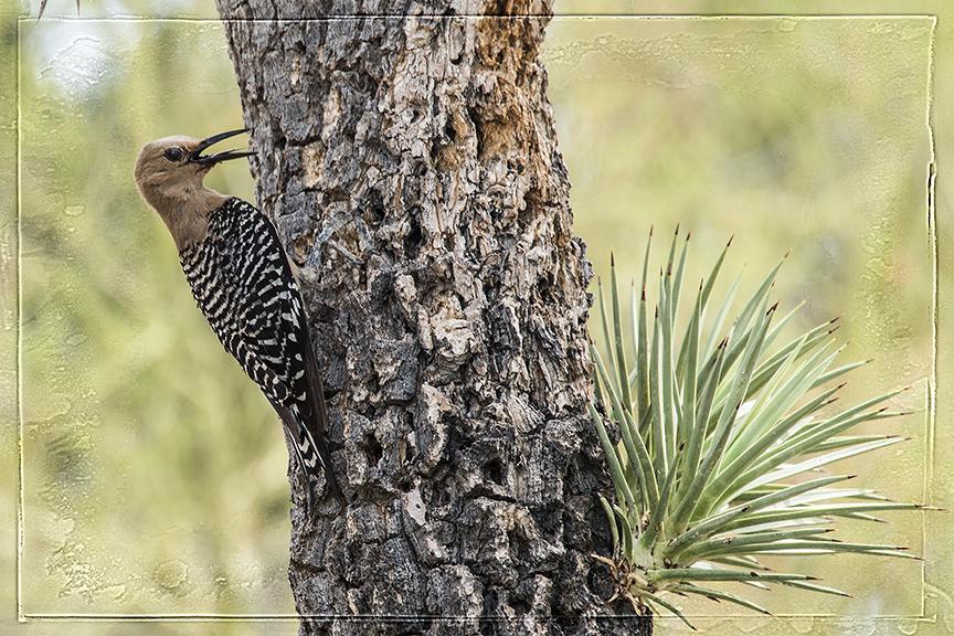 Gila Woodpecker blog II