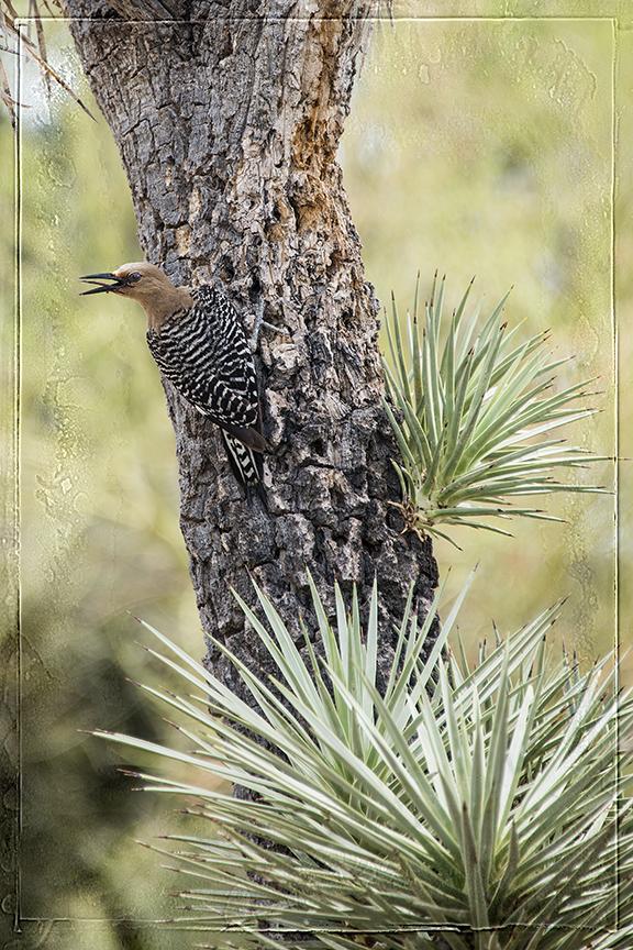 Gila Woodpecker High Pass blog