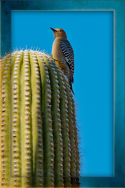 Gilded Flicker A Top a Saguaro blog