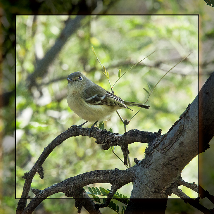 Ruby Crown Kinglet blog