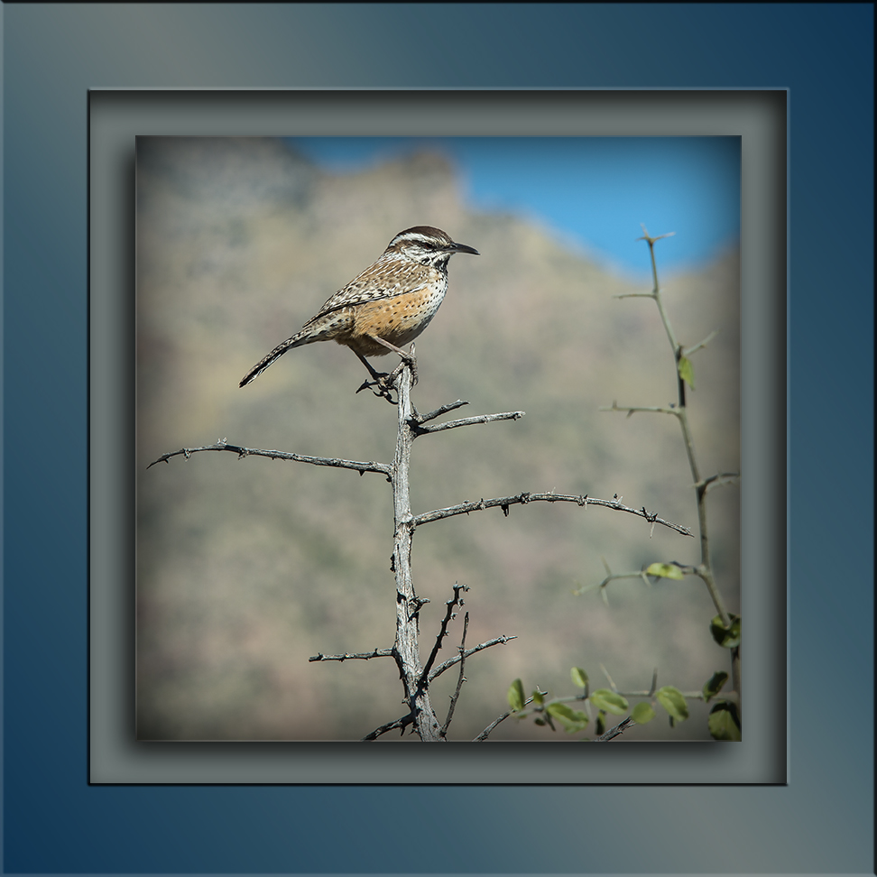Sabino Canyon Walk 11-18-15-9755 Cactus Wren blog