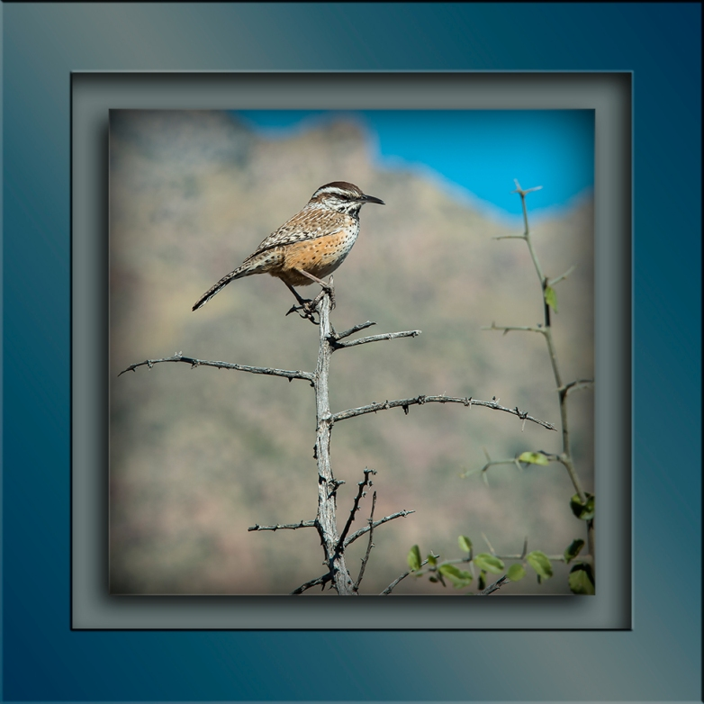 Sabino Canyon Walk 11-18-15-9755 Cactus Wren blog