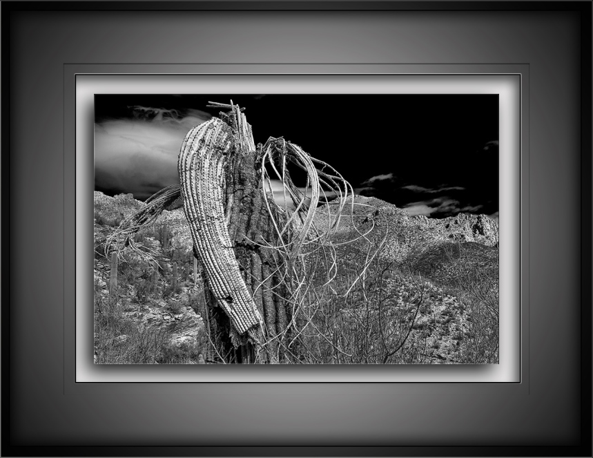 Saguaro Cactus B&W blog