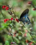 Black Swallowtail-3414 blog