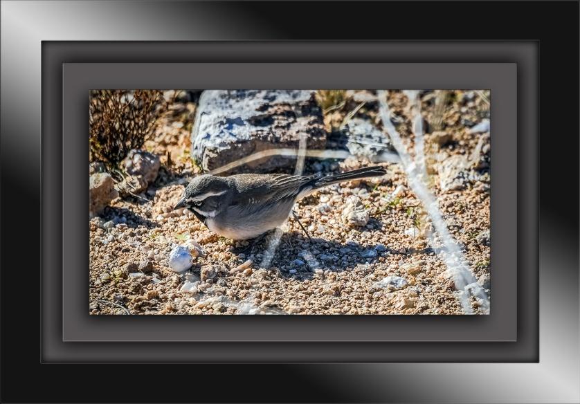 Black-throated Sparrow-1162 blog