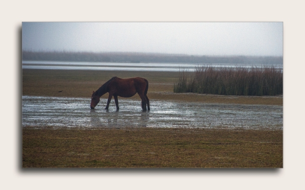 Outer Bank Wild Horses blog