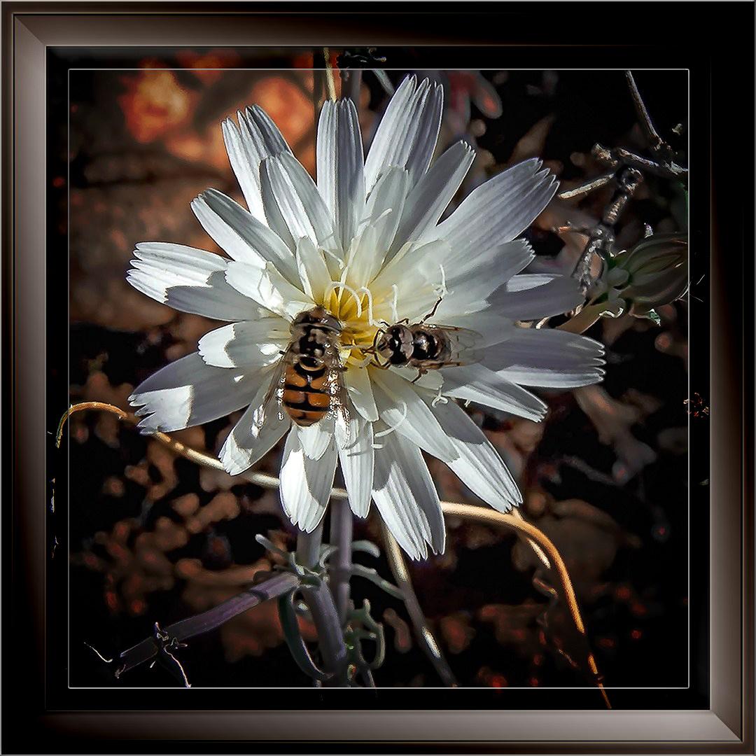 remero-pools-02-14-14-0054-2-chicory-wildflower-blog-ii-framed-blog