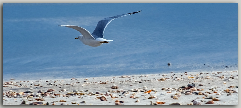 Sea Gull-0979-2 blog II