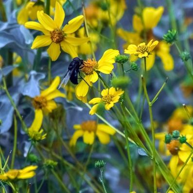 Bee on Brittlebush
