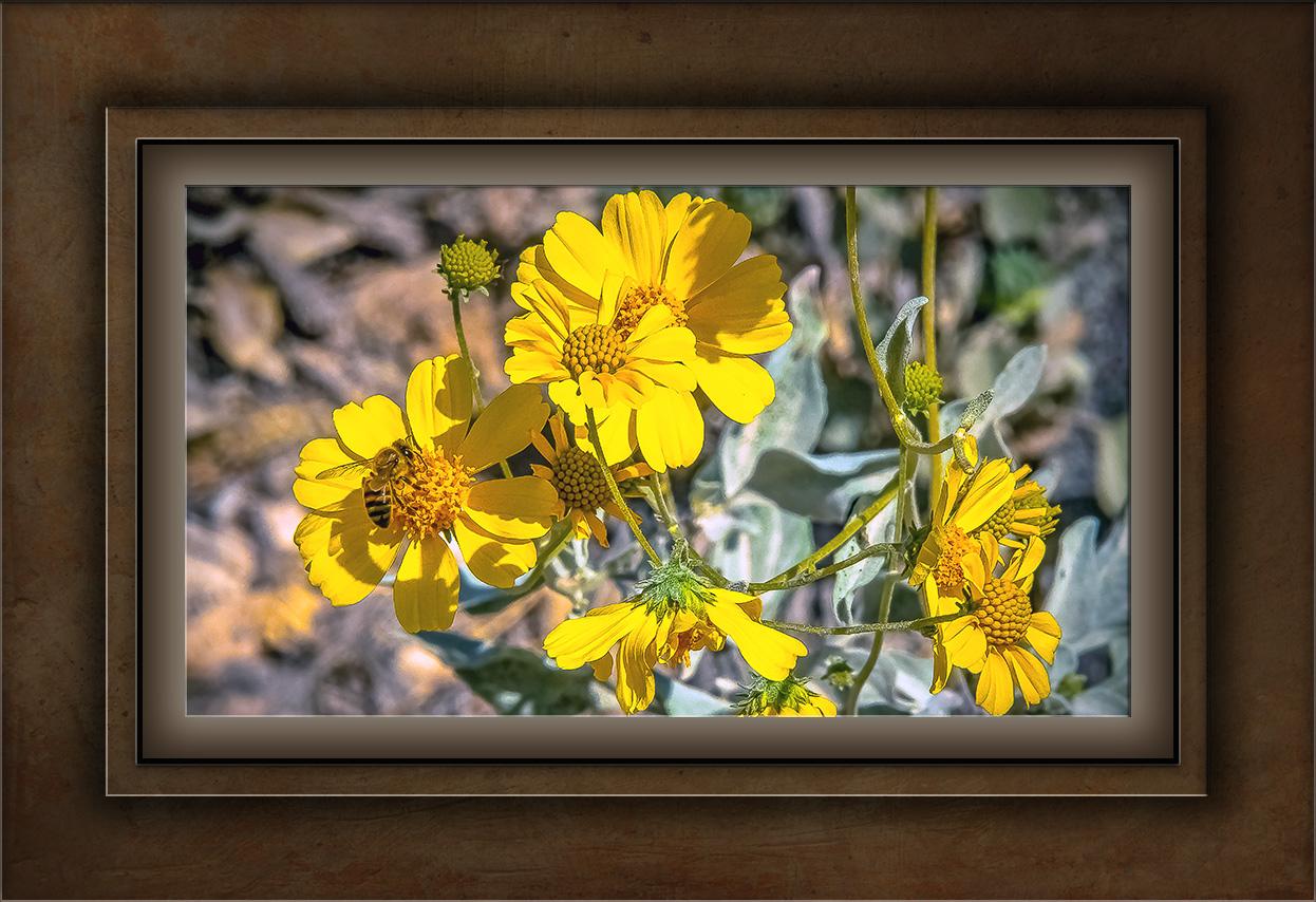 Brittle Bush Flowers-0749 blog