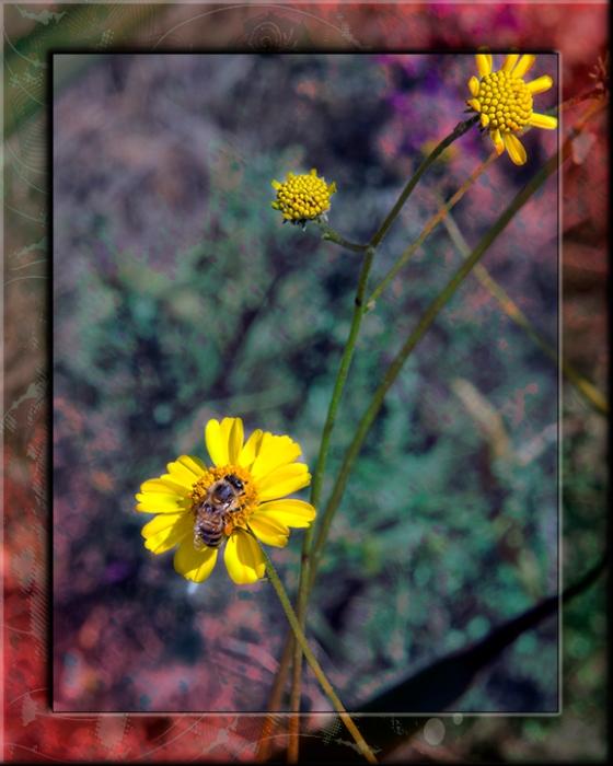 Desert Marigold blog