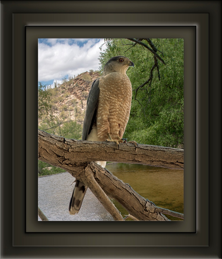 Sabino Canyon Copper's Hawk1517 blog