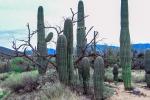 Saguaros DSC_1406 blog