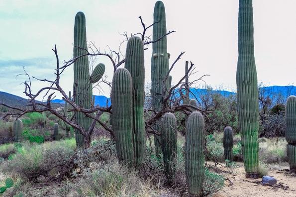 Saguaro Cactus Stand