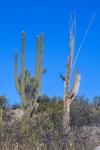 Southernland Trail Crested Saguaro-1225blog