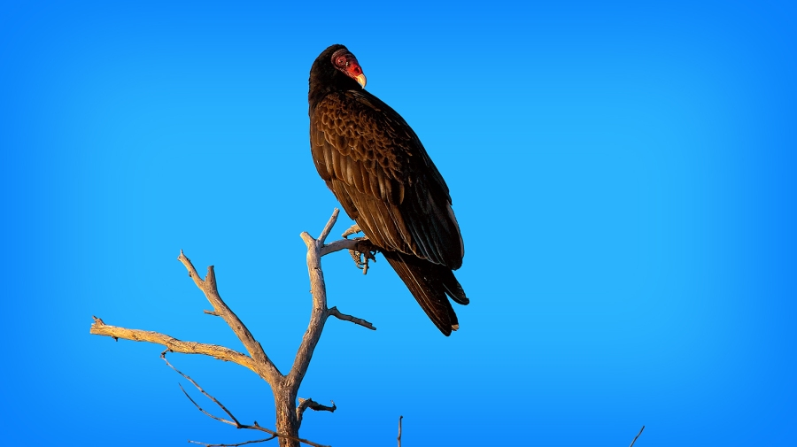 Turkey Vultures March 2013