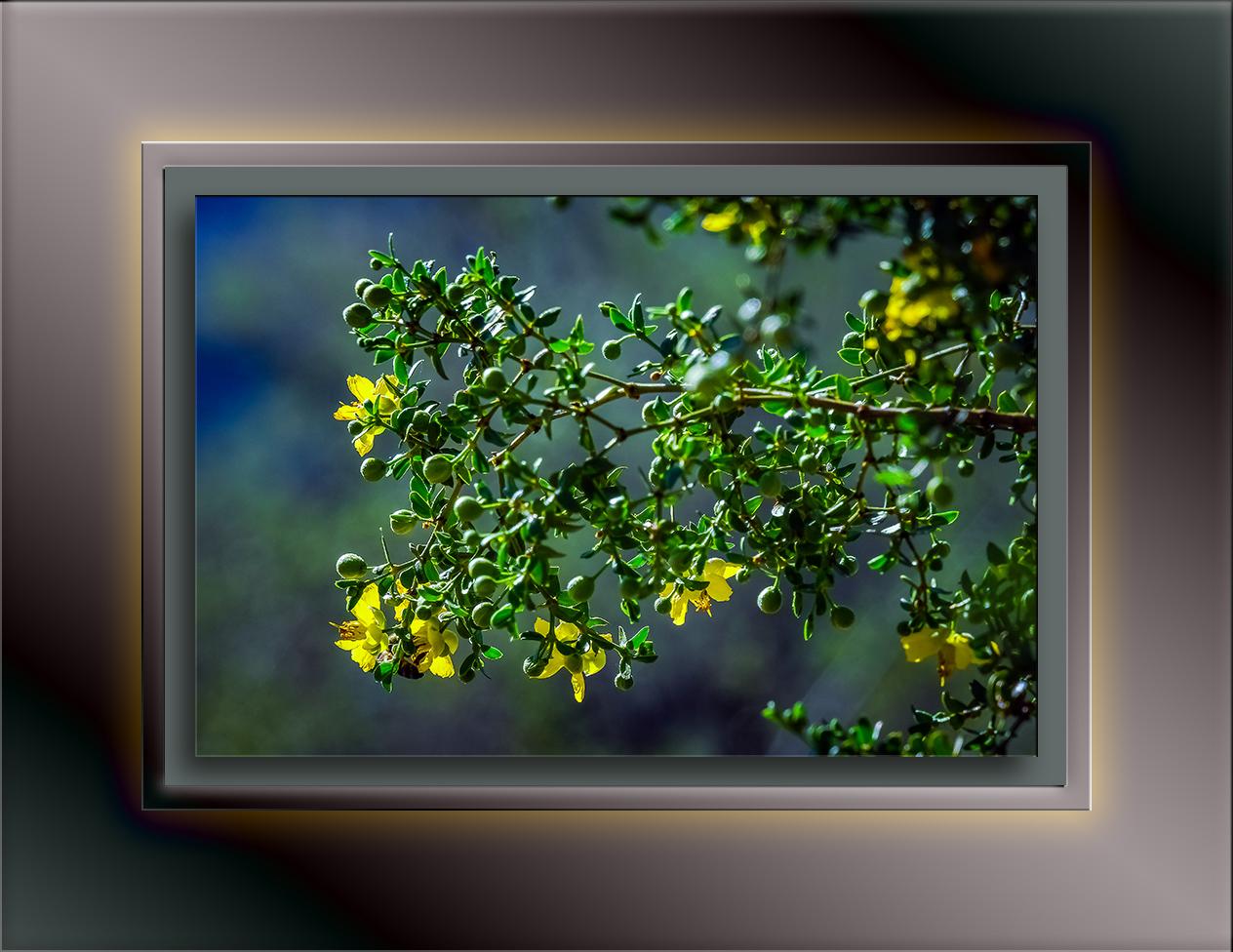 creosote bush-1624 blog