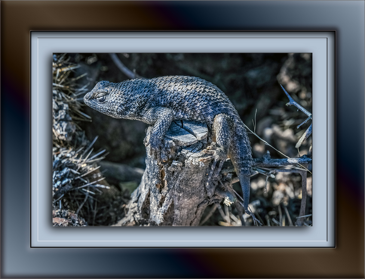 Desert Spinny Lizard-1661 blog
