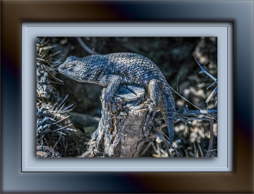 Desert Spinny Lizard-1661 blog