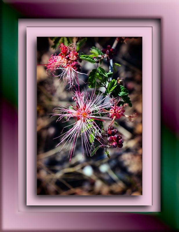 Fairy Duster DSC_1520 blog