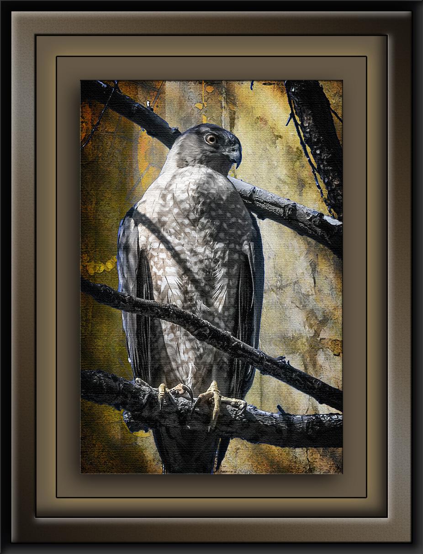Science Day-1582 Cooper's Hawk Art II blog