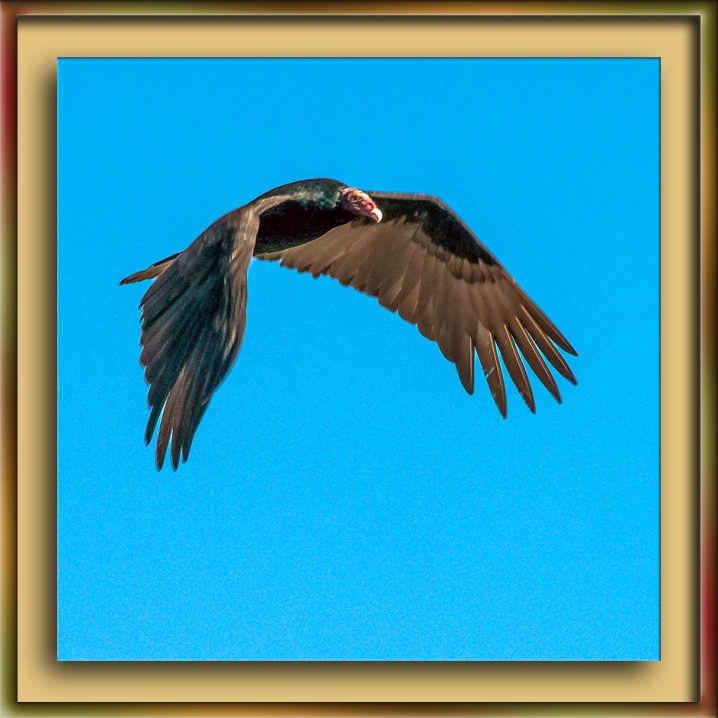 Turkey Vulture blog