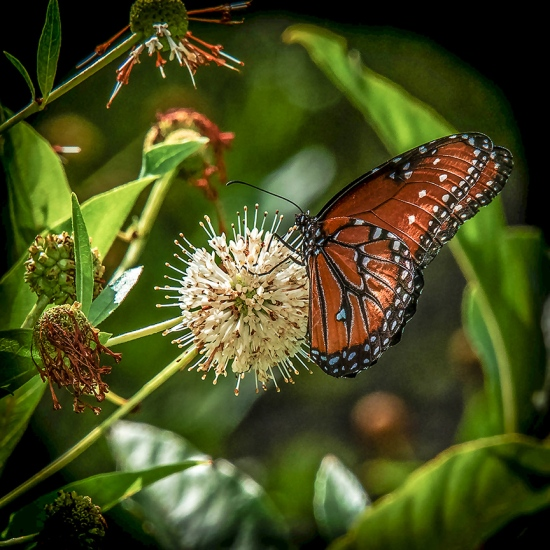 Viceroy Butterfly on Buttonbush (1 of 1)-3 blog