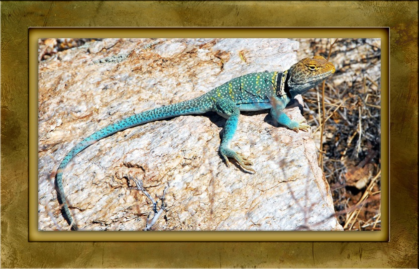 eastern-collard-lizard-13028-blog-framed-2