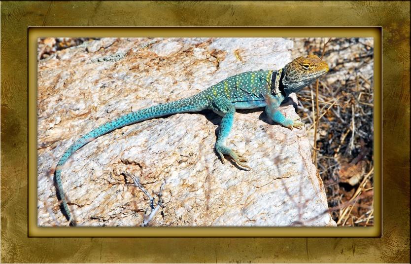 eastern-collard-lizard-13028-blog-framed-2