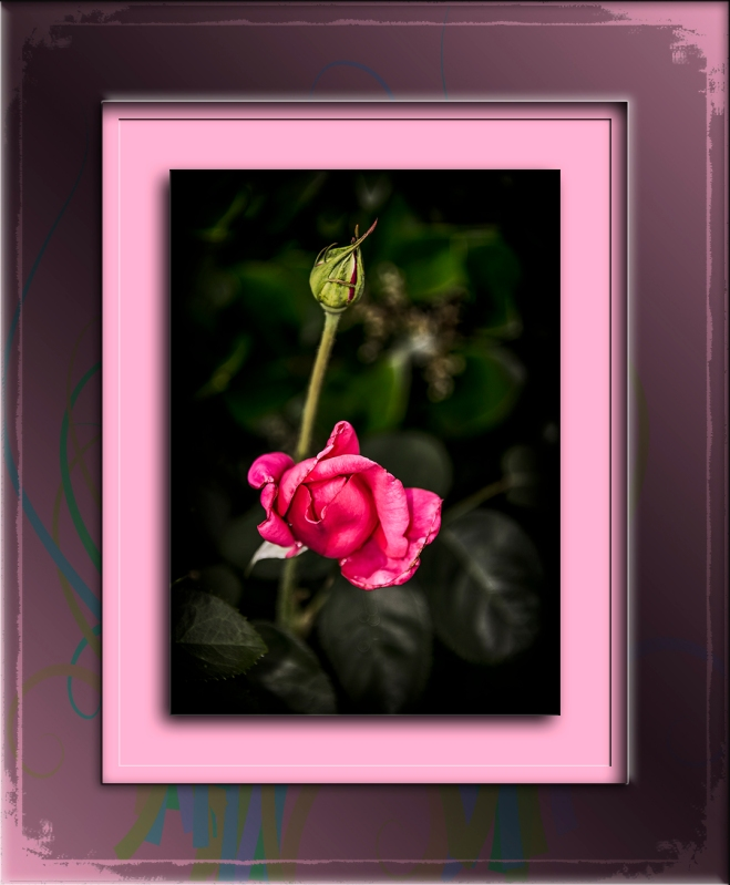 Rose_2015 05 06_0650-Recovered blog