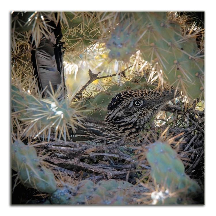 4-H Group-0862 Roadrunner in nest blog framed