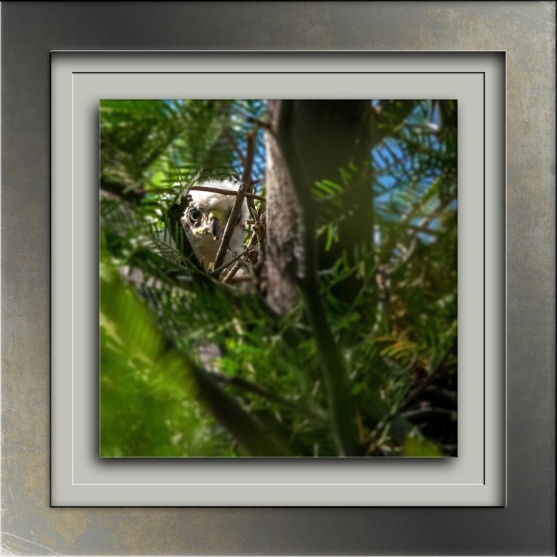 Cooper's Hawk (1 of 1)-7-2 blog