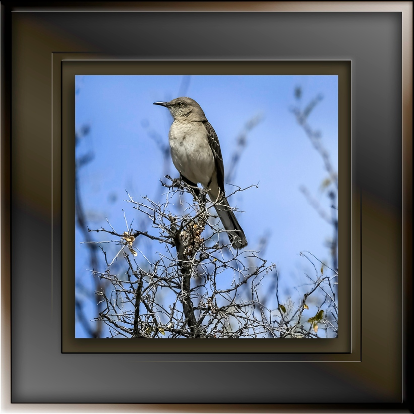 Mockingbird DSC_1531 blog II