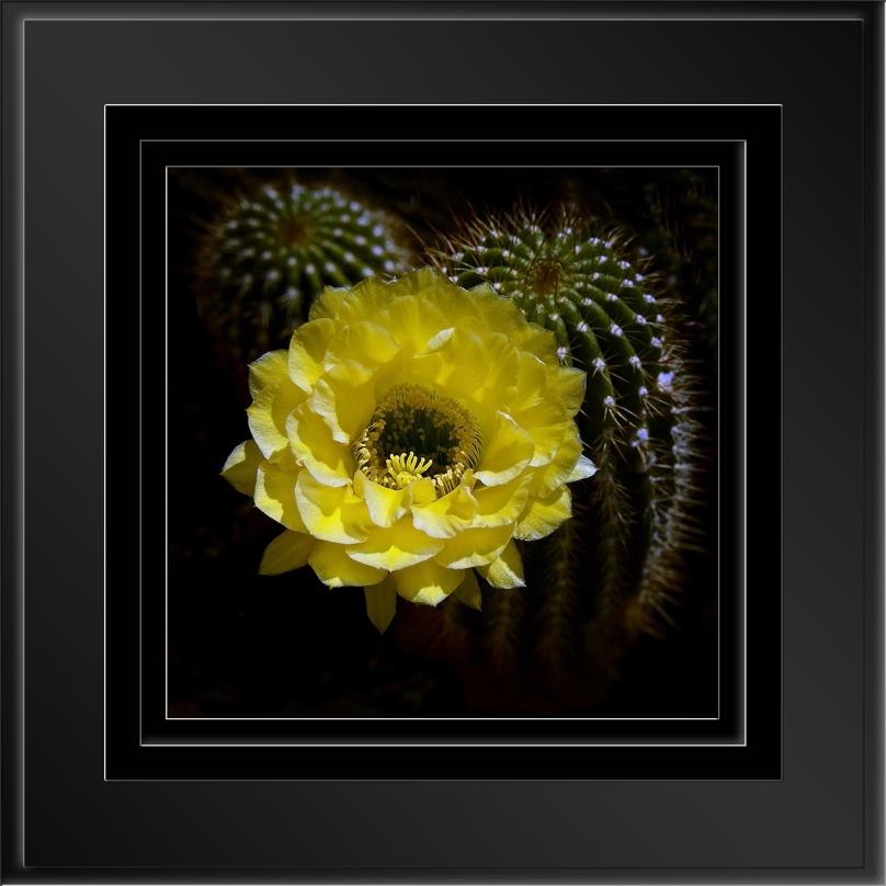 Morning Cactus Flower