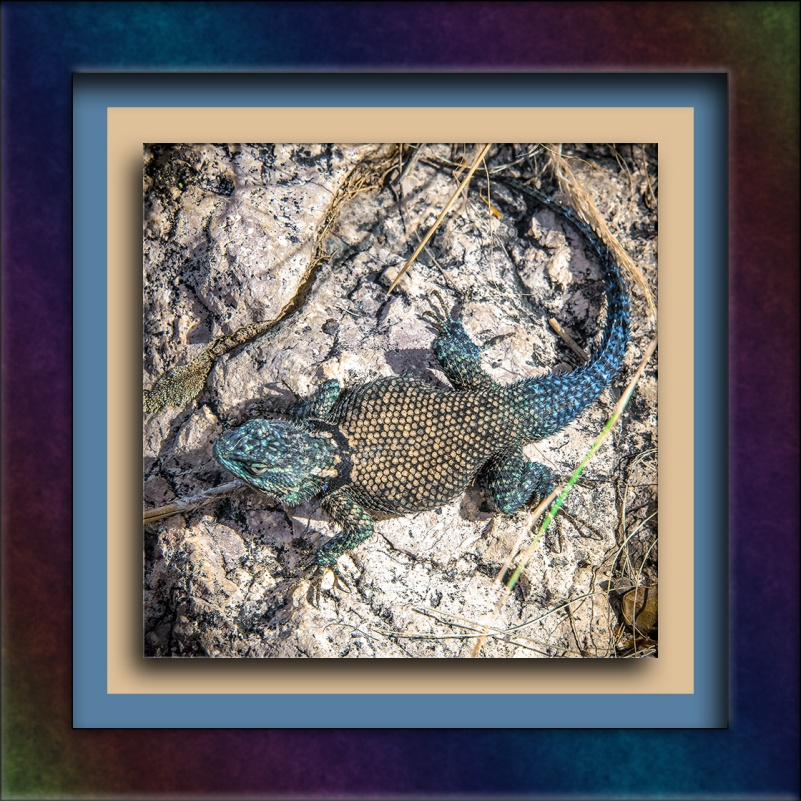 Mountain Spinny Lizard (1 of 1)-3 blog