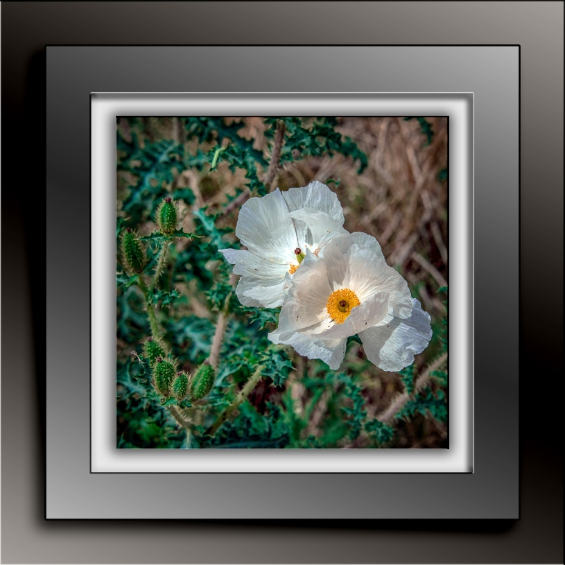 Southernwestern Pricklypoppy blog