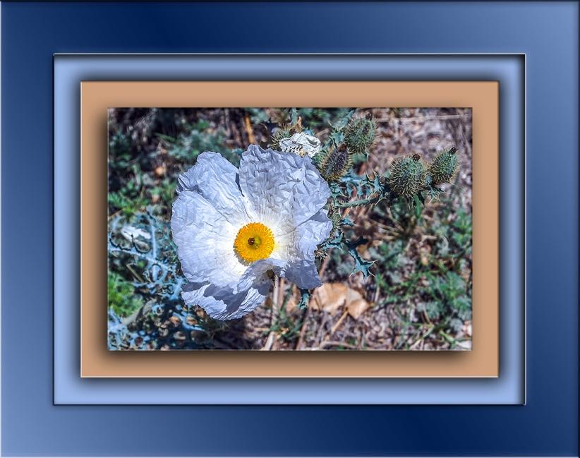 Southwestern Prickly Poppy-1891 blog
