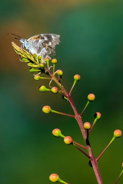 Butterflies-2103 blog