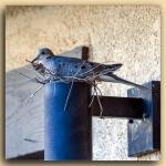 Mourning Dove-2094 blog