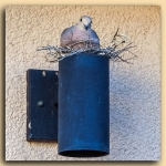 Mourning Dove-2096 blog