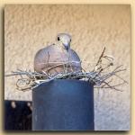 Mourning Dove-2097 blog