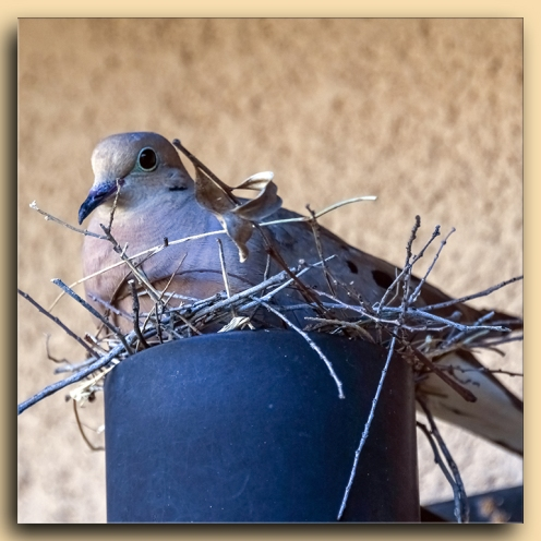 Mourning Dove-2098 blog