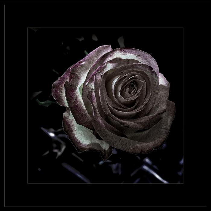 Rose (1 of 1)_B-W blog