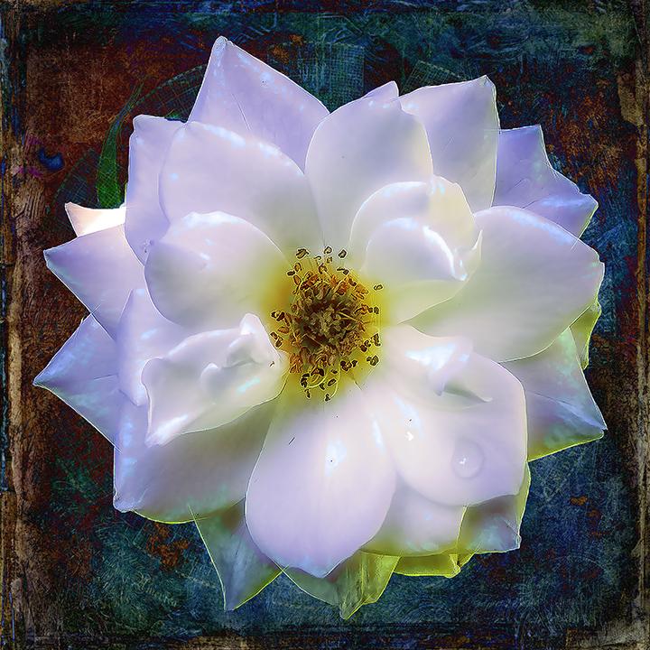 White Rose-0012-1-Edit-2 art blog