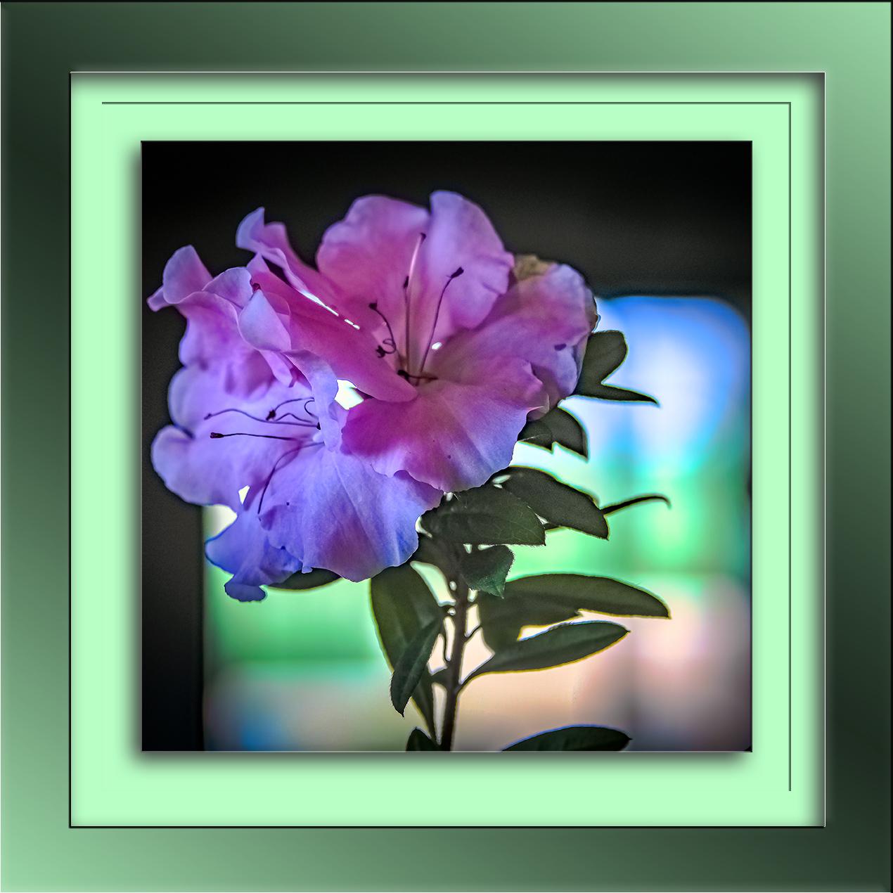 Azalea Bloom-2-blog