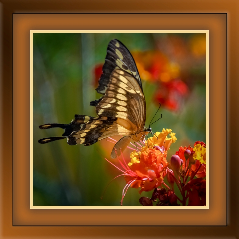 Gaint Swallowtail-blog