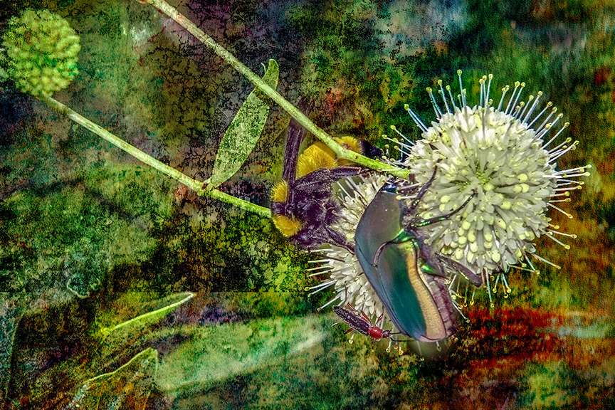 Insects on Buttonbush (1 of 1)Grunge Art-blog