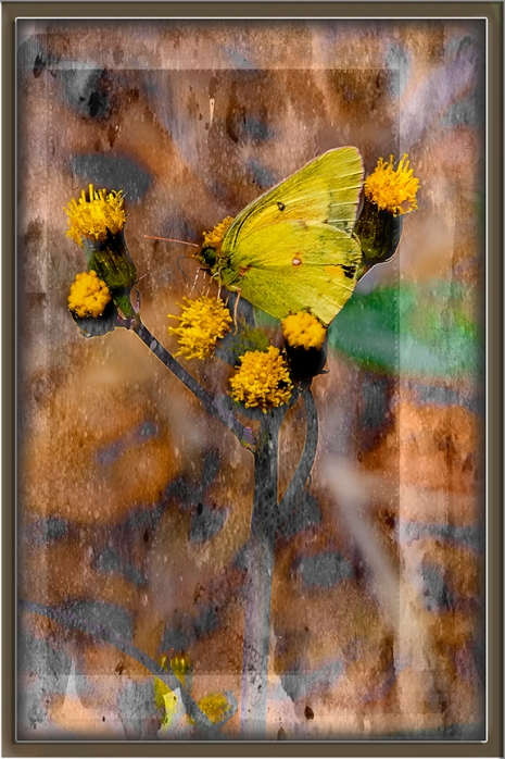 Orange Sulphur-art-blog