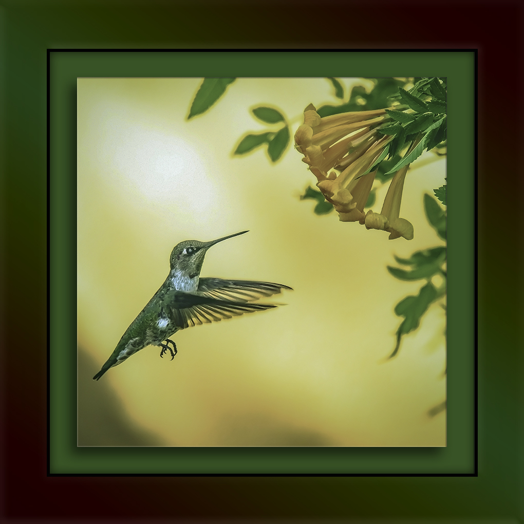 Anna's Hummingbird-Edit-2-blog